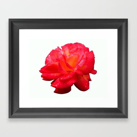 Red Rose (Rosaceae) Framed Art Print