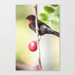 plum Eater Canvas Print