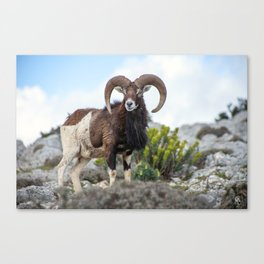 The Mouflon 8152 Canvas Print