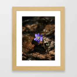 Hepatica nobilis in the humus Framed Art Print