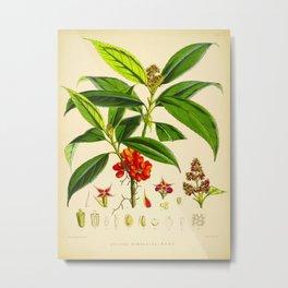 Vintage Scientific Botanical Illustration Species Drawing Himalayan Plants Green Leaves Red Berries Metal Print