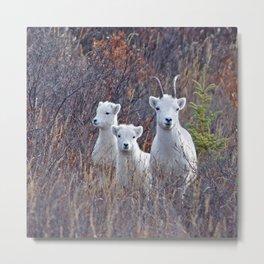 Dall Sheep Ewe With Lambs Metal Print