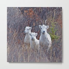 Dall Sheep Ewe With Lambs Metal Print