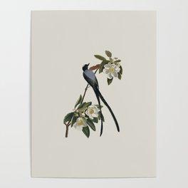 Fork-tailed Flycatcher Bird Illustration Poster