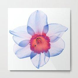 narcissus poeticus (feeling blue) Metal Print