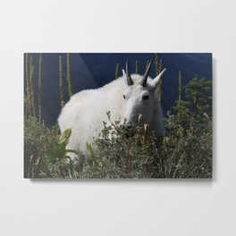 Mountain Goat in Glacier National Park Metal Print