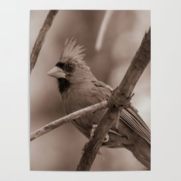 Northern Red Cardinal BW Poster