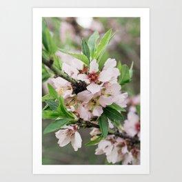 Flor de cerezo Art Print