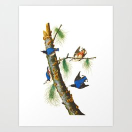 White-breasted Black-capped Nuthatch Bird Art Print