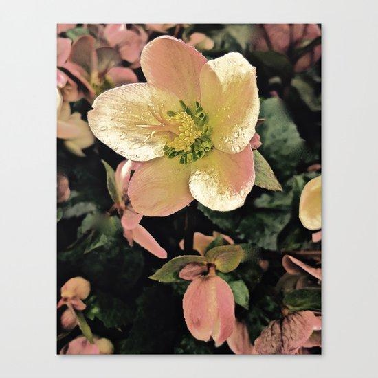 Helleborus Canvas Print