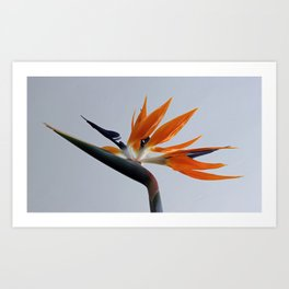 The bird of paradise flower Art Print
