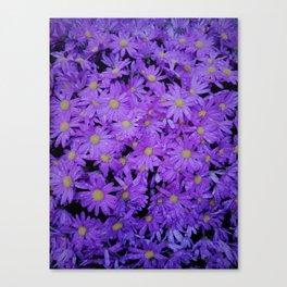 violet  chrysanthemum Canvas Print