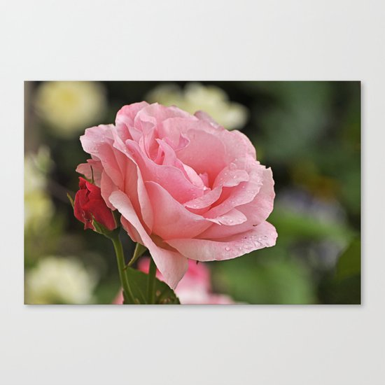 Pink wet rose Canvas Print