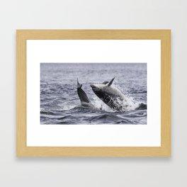 Jumping (breaching) Wild bottlenose dolphin tursiops truncatus. Framed Art Print