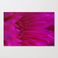 Pink  Chrysanthemum  Canvas Print