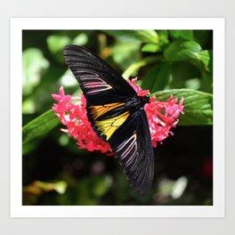Beautiful Birdwing Butterfly Art Print