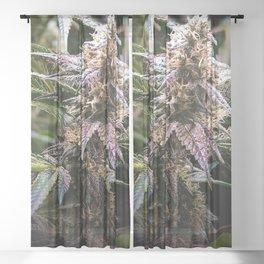 Purple Cannabis Bud in Black Sheer Curtain