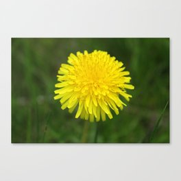 Yellow Dandilion Canvas Print
