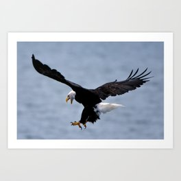 Bald Eagle Attack Art Print