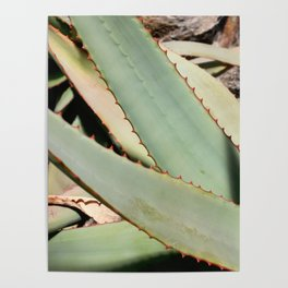 Cactus plants scalloped edges botanical photography no 8 Poster