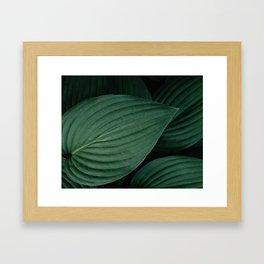 Hosta leaves. Framed Art Print