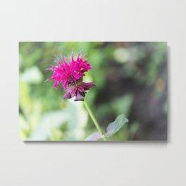 Pink Bee Balm Flower 1 Metal Print