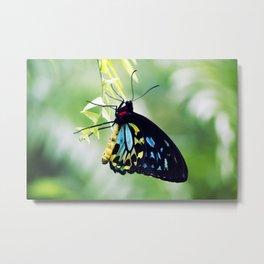Cairns Birdswing Butterfly Metal Print