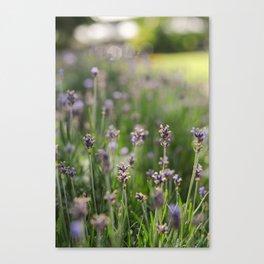 Lavender Fields Forever Canvas Print