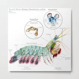 O. scyllarus (Peacock Mantis Shrimp) Metal Print