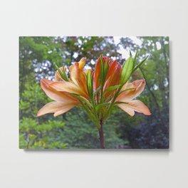 Orange Rhododendron flowers Metal Print