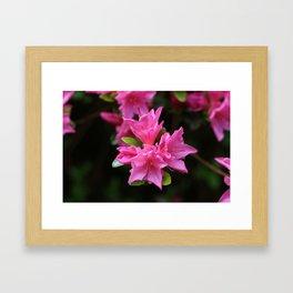 Pink Azelaea Spring Flowers Pretty Flowers Blossoms Nature Flora Framed Art Print