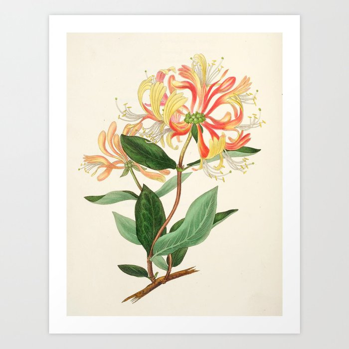 """Honeysuckle from """"The Moral of Flowers"""" (1833) by Rebecca Hey Art Print"""