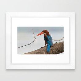 White throated Kingfisher Framed Art Print