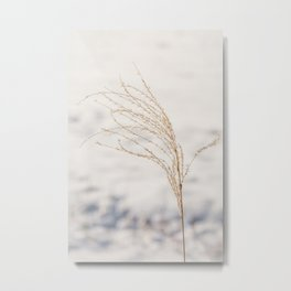 Plume of ornamental grass 'Miscanthus Sinensis Silberfeder' in the snow. Metal Print