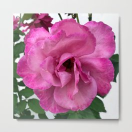 Bodacious Pink Rose | Large Pink Flower | Nature Photography Metal Print