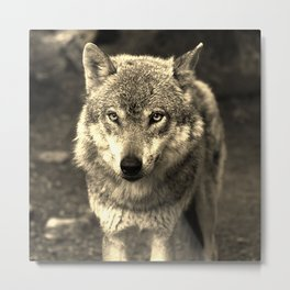 Wolf 215 Metal Print