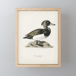 Ferruginous duck male (Nyroca fuligule) illustrated by the von Wright brothers. Framed Mini Art Print