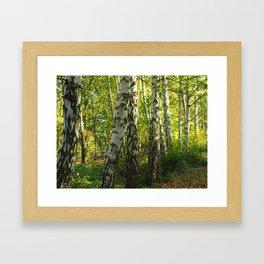 Silver Birch in Sunlight Framed Art Print