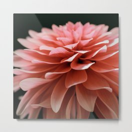Dahlia Pink Metal Print