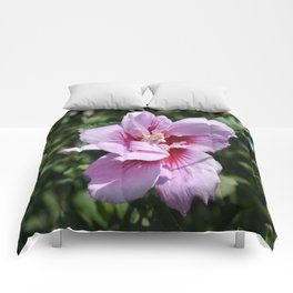 Double Headed Marsh Mallow Althaea Officinalis  Comforters