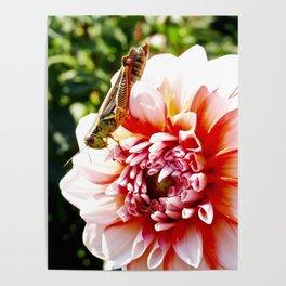 Grasshopper Grazing on a Dahlia Poster