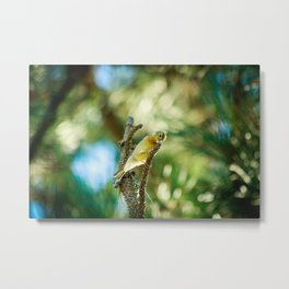 Golden Finch Looking Down Metal Print