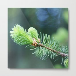 Spruce branch in spring. Metal Print