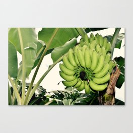 Costa Rican Bananas Canvas Print