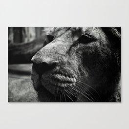 Unenthusiastic Lion Canvas Print