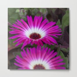 Livingstone daisies pink and white Metal Print