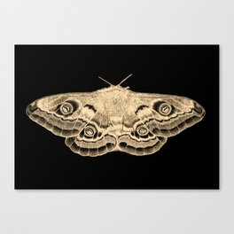 Gold moth on black Canvas Print