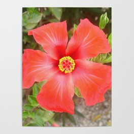 Head On Shot of a Red Tropical Hibiscus Flower Poster