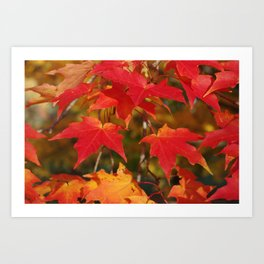 Fiery Autumn Maple Leaves 4966 Art Print