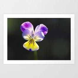 Johnny-Jump-Up Flower 2 Art Print